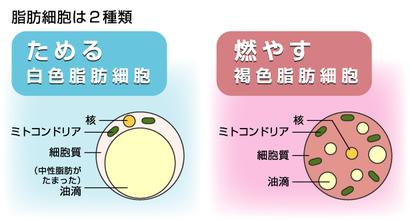 脂肪の役割