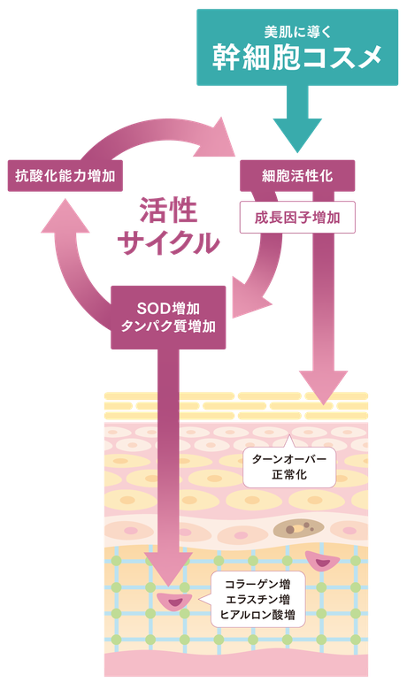 ヒト幹細胞について