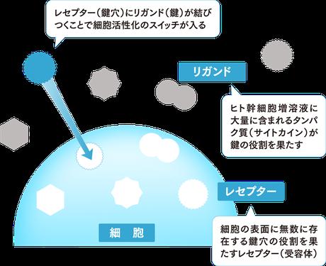 細胞の表面には特定の形をしたカギ穴(レセプター)があり、そのカギ穴にピッタリ合うカギ(リガンド)となる物質が結びついてはじめて、活性が始まります。